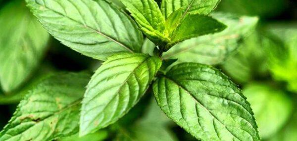 عرض بوربوينت النباتات اللاوعائية