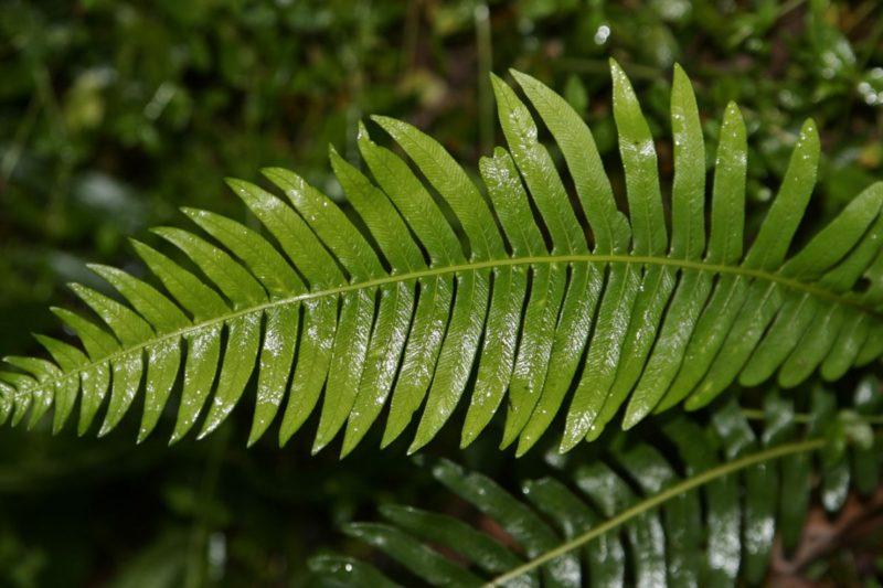 عرض بوربوينت النباتات الوعائية اللابذرية