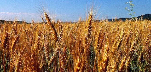 عرض بوربوينت قصة سنبلة القمح رياض الاطفال