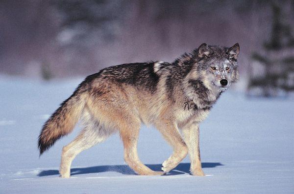 مهارات درس الخروف والذئب الصف الاول الابتدائي 1442 هـ - 2021 م